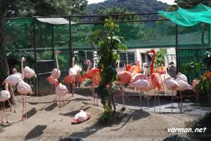 Kyoto Municipal Zoo's flamingoes