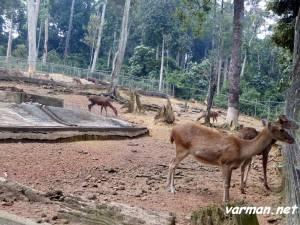 "Taman Rusa (""Deer garden"") - Bukit Cherakah"