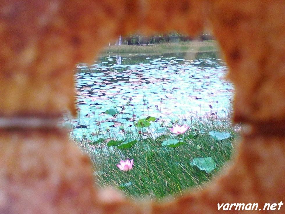 Framing:  Water lily, Mekar Shah Alam
